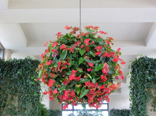 anthirrium hanging basket