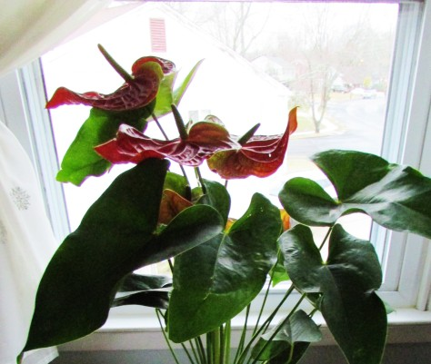 anthirrium windowsill