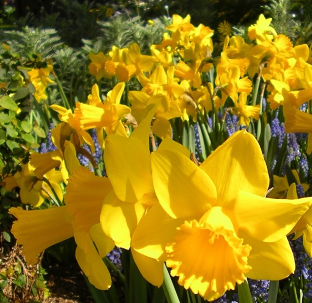 daffodils close-up