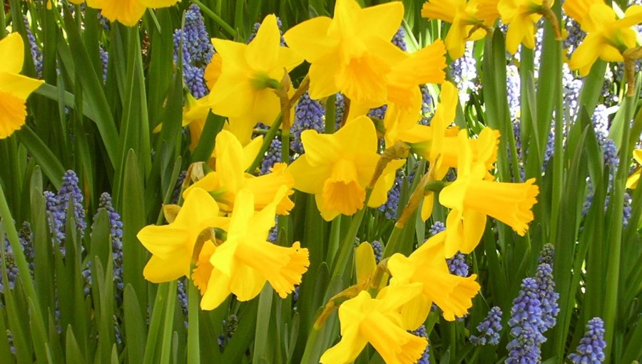 daffodils feature
