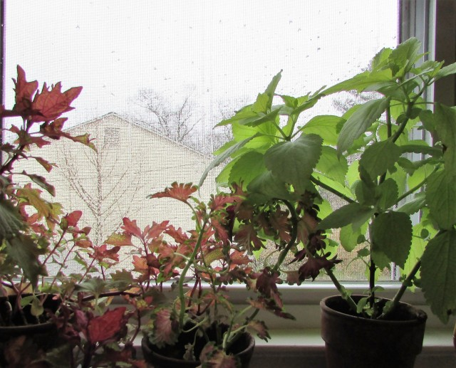 coleus cuttings 1