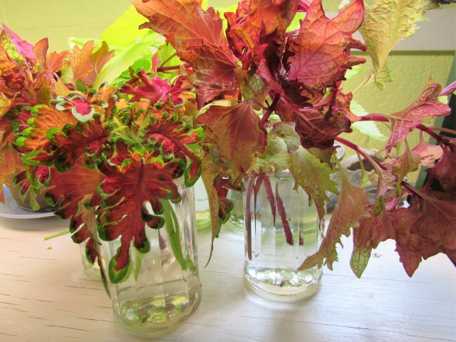 coleus cuttings 3