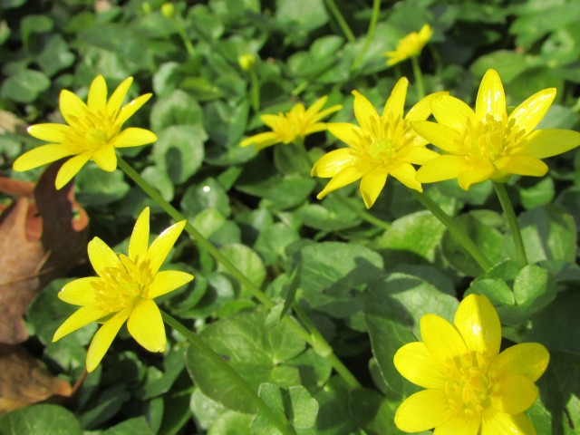 The flow of celandine 1