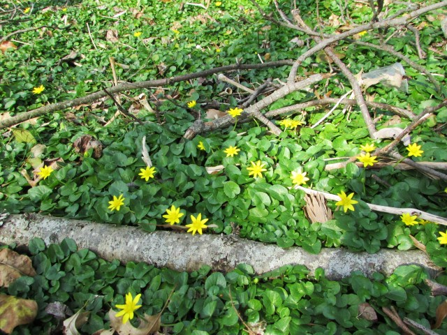 the flow of celandine 2