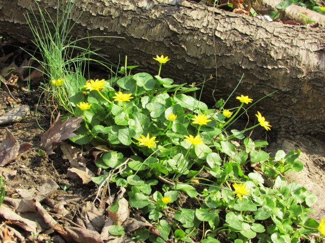the flow of celandine 3