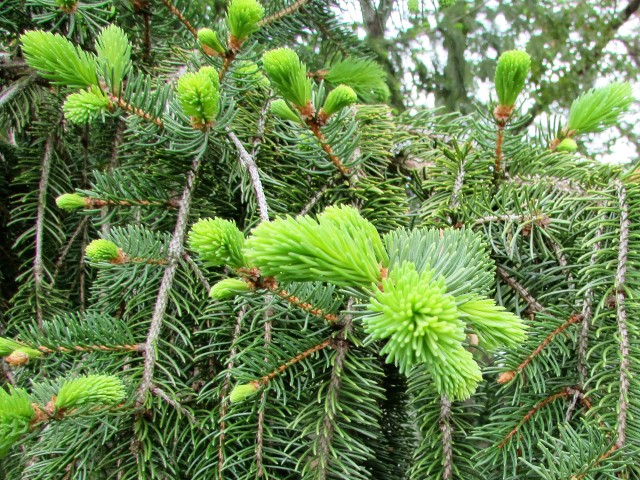 New growth on pine trees
