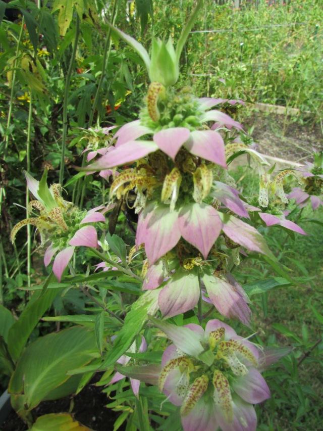 bee-plant