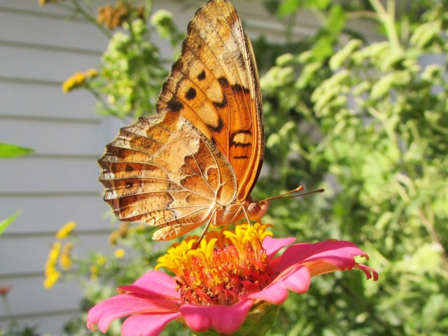 Painted Lady (?)