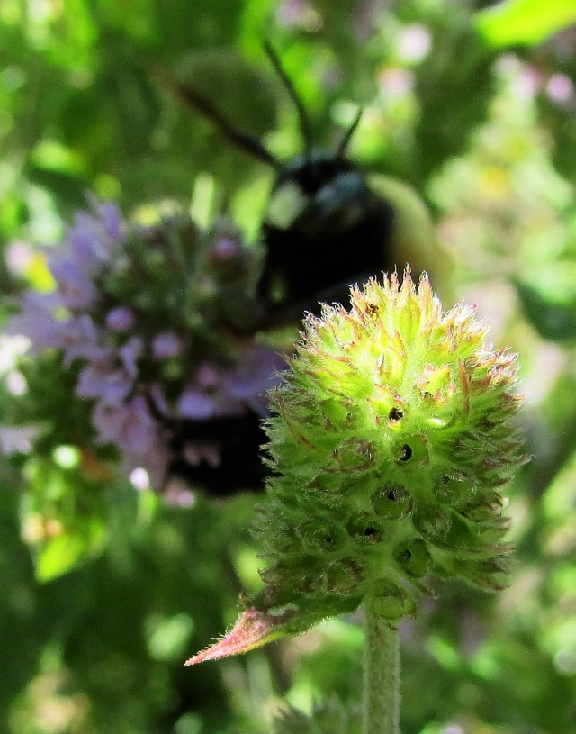 Mint seed head with yellow bumblebee in background
