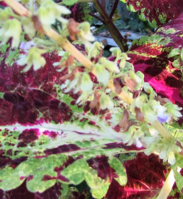 Coleus seed pods