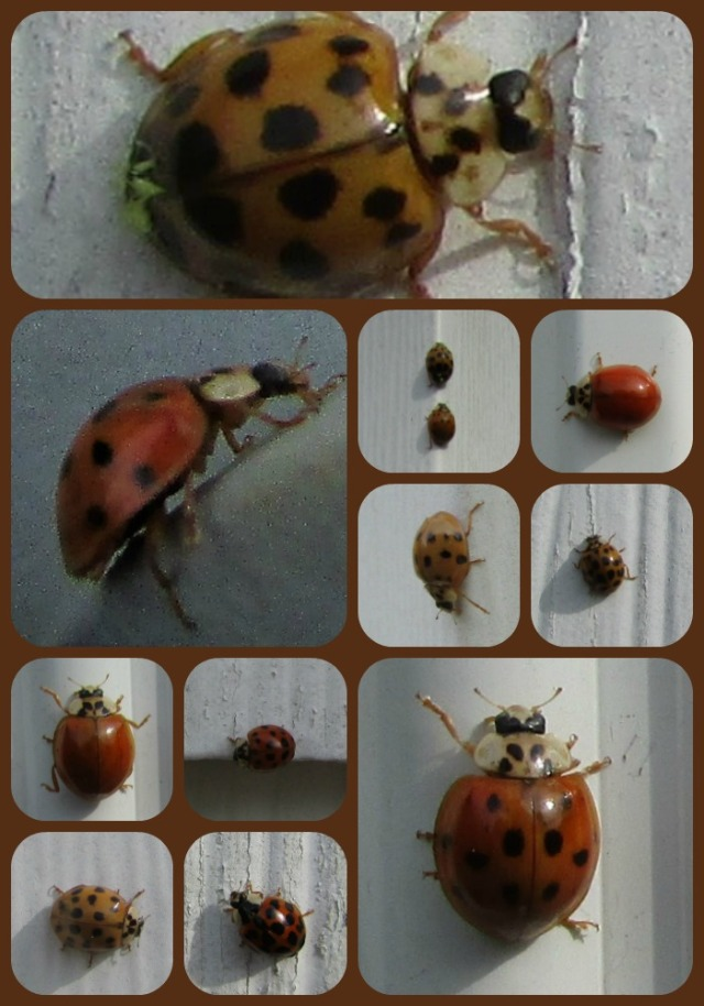 ladybug-collage