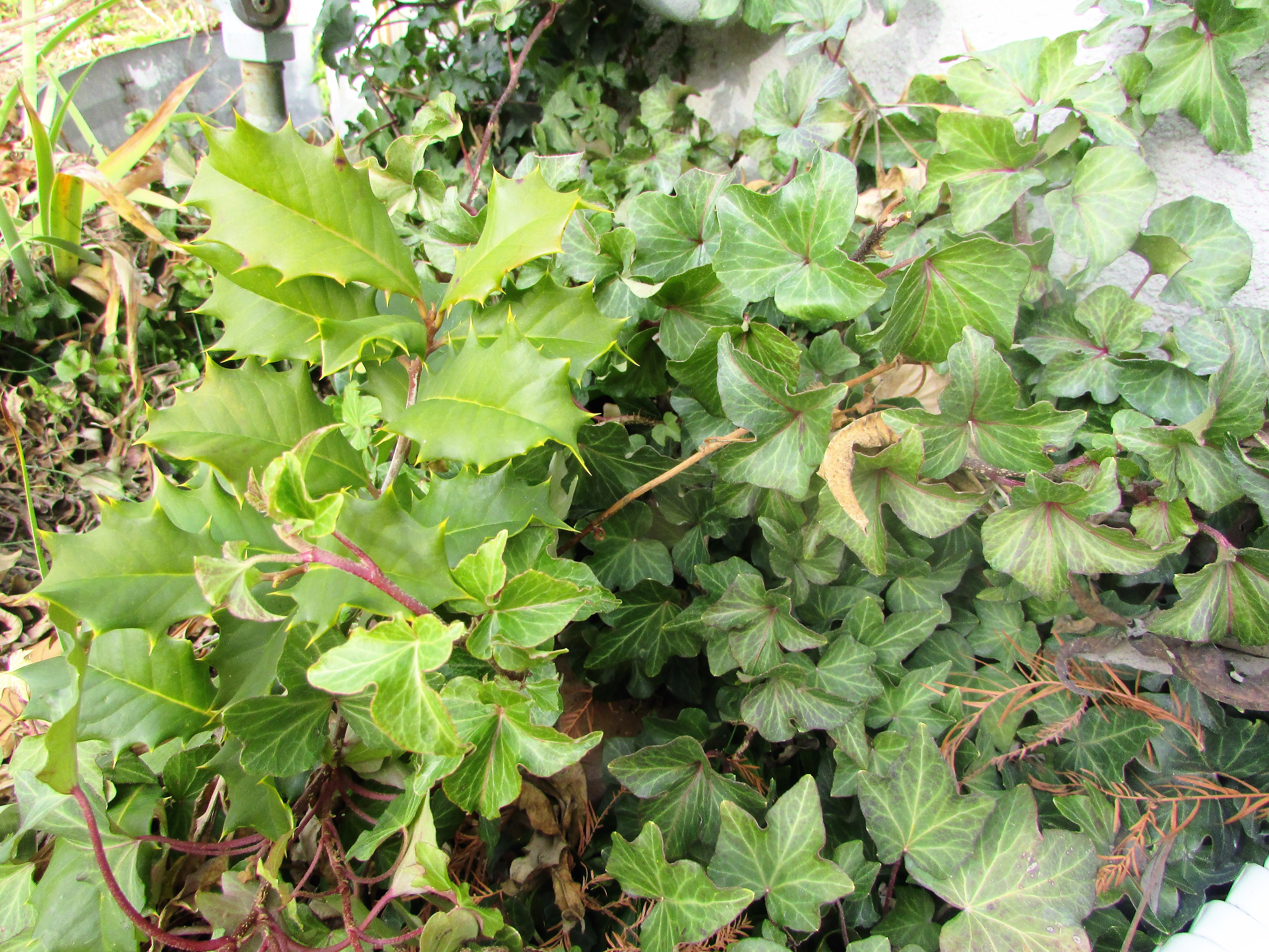 hollytree christian personals The holly and the ivy have been intertwined  (perhaps dating back to  noticing an ivy vine in the forest twining itself around a holly tree,.