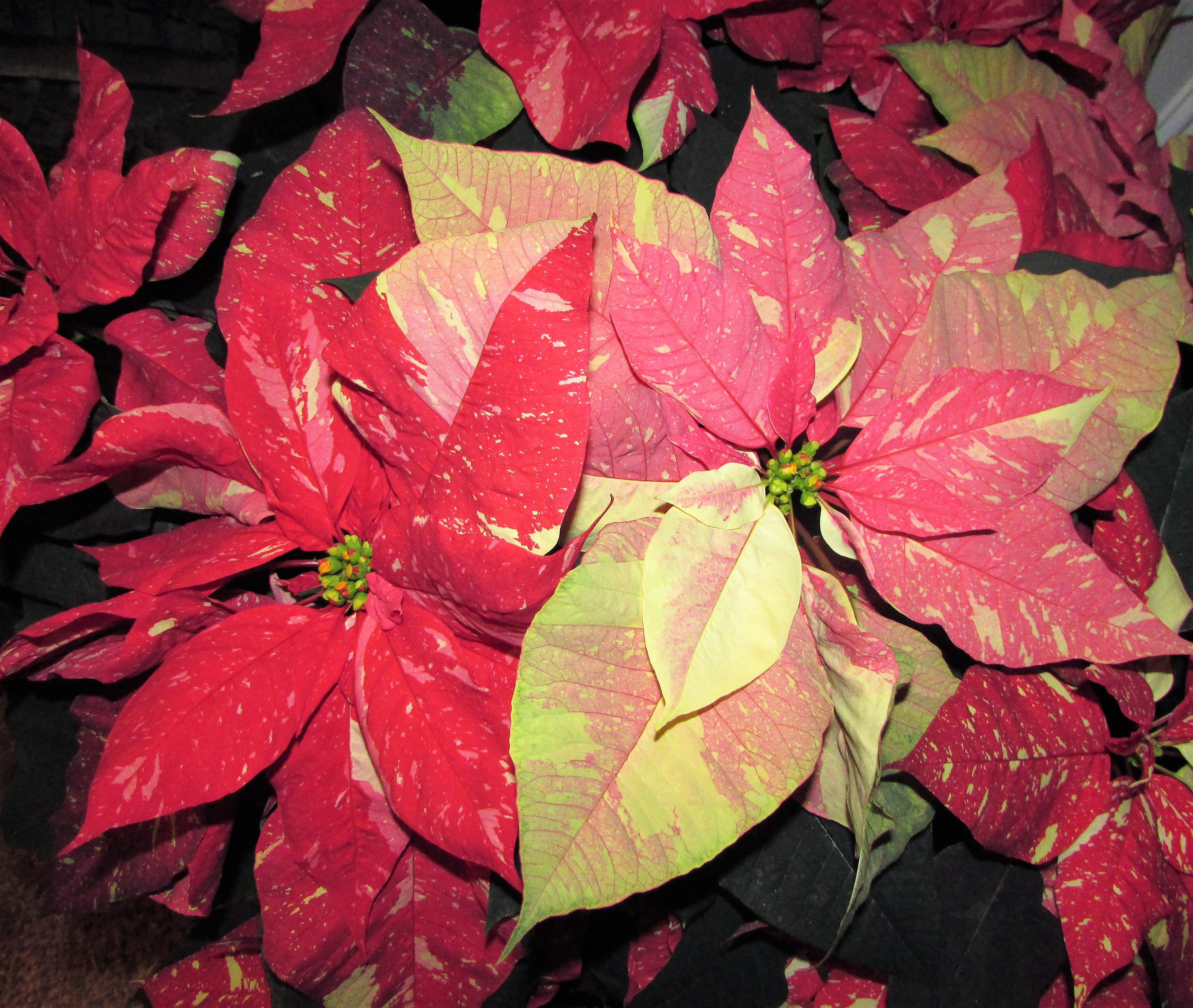 Plant Quote Poinsettia Minding My P S With Q