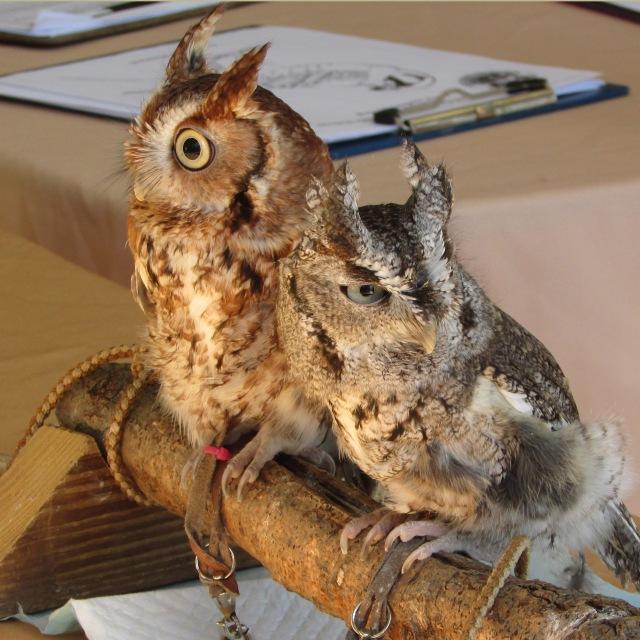 screech-owls-2